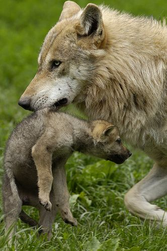 European wolves (Canis lupus)
