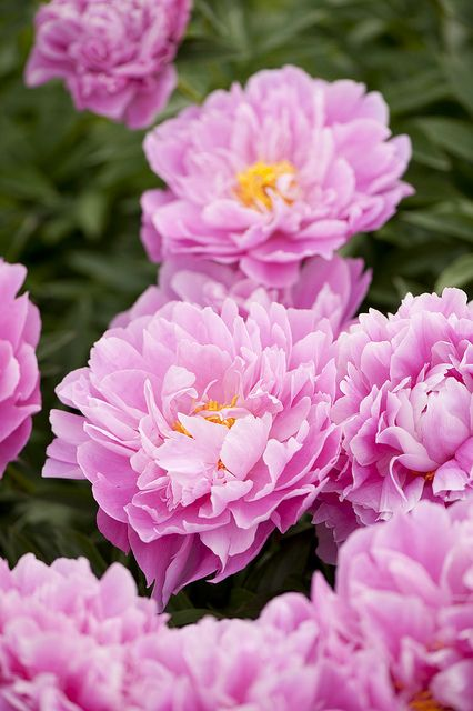 Pretty Pink Paeonia Flowers