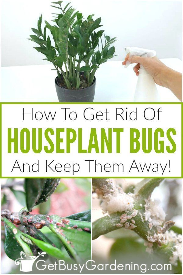 How To Get Rid Of Bugs On Houseplants Plant Pests Plant Bugs Plant Care