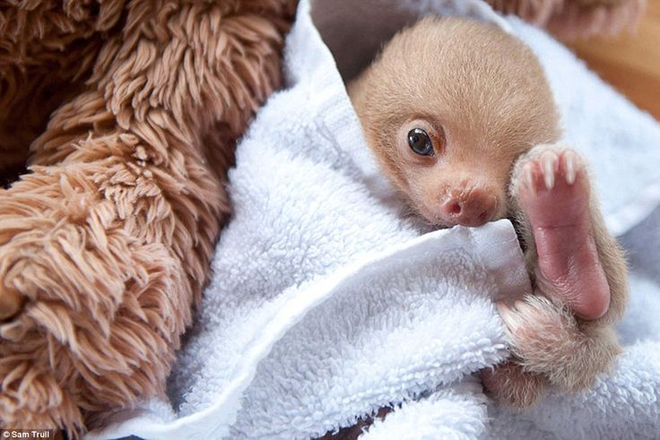 This lovable creature is one of many being cared for by volunteers at the Sloth Institute in Costa Rica, many of whom wouldn't have stood a chance if left alone in the wild