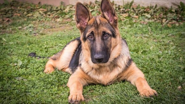 Thinking About Bringing Home A Rescue German Shepherd Here Is