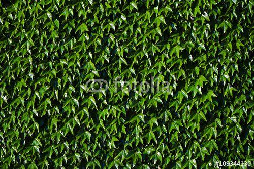 """Ivy Leaves Background tarafından oluşturulmuş """"milotus"""" Telifsiz fotoğrafını en uygun fiyatta Fotolia.com 'dan indirin. Pazarlama projelerinize mükemmel stok fotoğrafı bulmak için, en ucuz online görsel bankasına göz atın!"""
