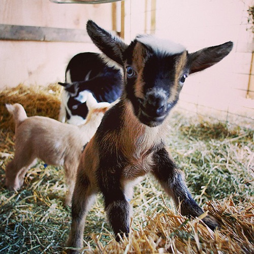 1000+ images about Baby Goats on Pinterest | Kids playing ...