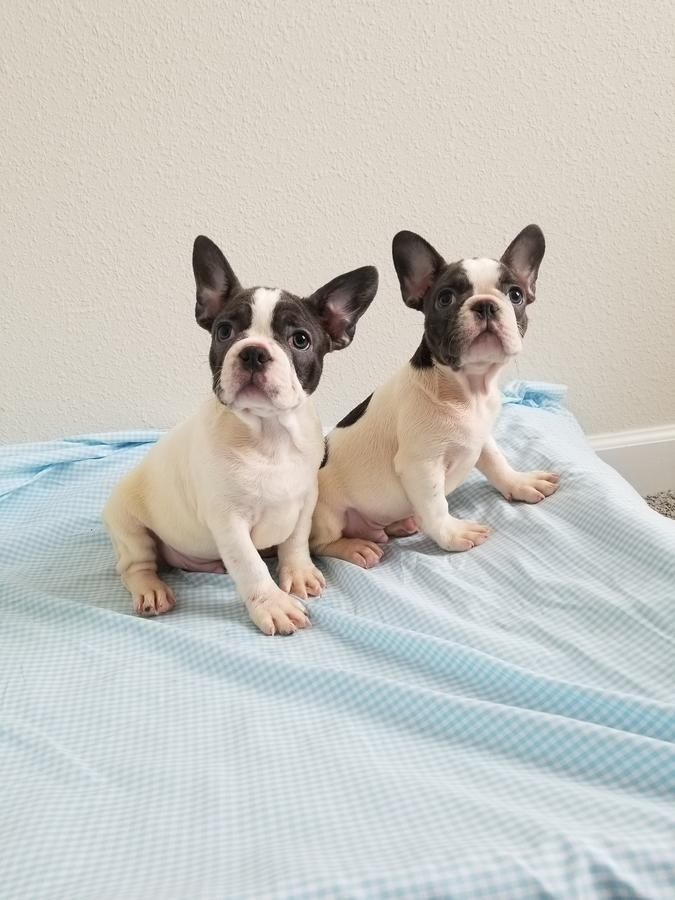 French Bulldog Blue Boy French Bulldog Blue French Bulldog