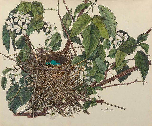Botanical illustration: bird nest, eggs. This book is amazing wish I had bought it!