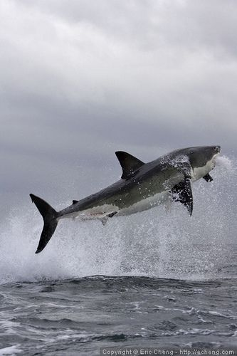Great white shark breach | Eric Cheng - Flickr - Photo Sharing! - False Bay, near Cape Town, South Africa