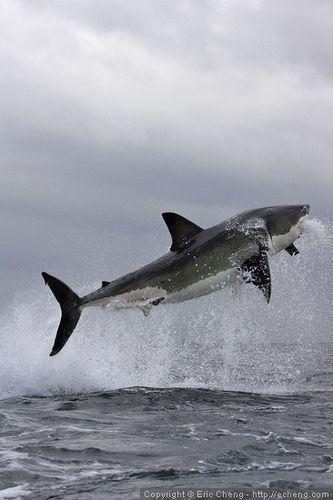 Gran tiburón blanco incumplimiento False Bay, cerca de Ciudad del Cabo, África del Sur