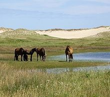 Sable Island horse - The island is home to over 400 free-roaming horses, protected by law from human interference. This feral horse population is likely descended from horses confiscated from Acadians during the Great Expulsion and left on the island by Thomas Hancock, Boston merchant and uncle of John Hancock.