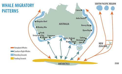 Whale Migration Patterns around Australia, visit Shark Bay to see the Humpback Whales!