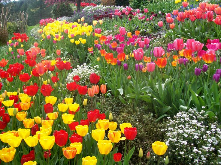 Tulip Flower Garden In Nevada County