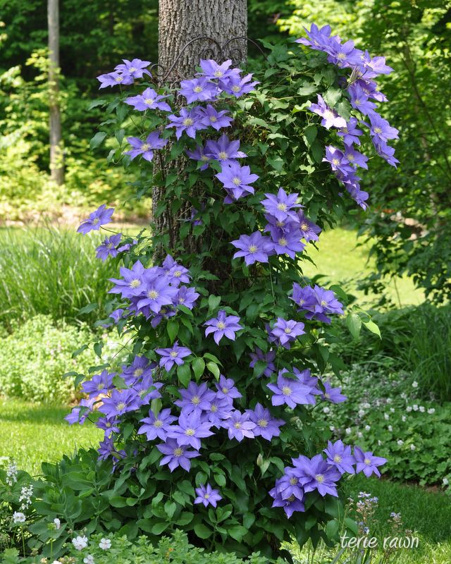 Clematis. This is on a trellis in front of the tree, but they will climb up the tree without a trellis. I have done this on large fir trees with clematis, wysteria and climbing hydrangeas