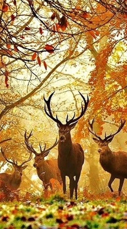 Four autumn bucks • photo: The Irish Deer Society #wild #animal #autumn…