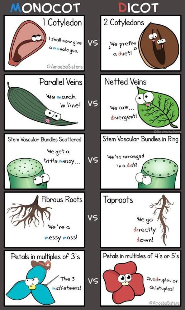 Just a few ways to remembers some monocot and dicot characteristics! #science #biology