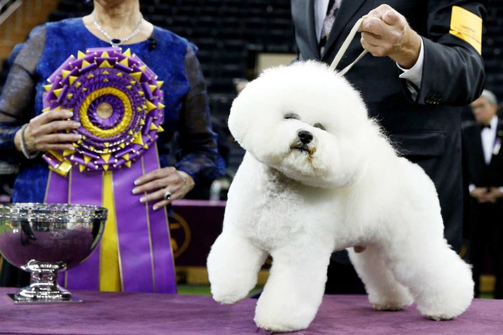 Bichon Frise Named Flynn Wins Westminster Dog Show