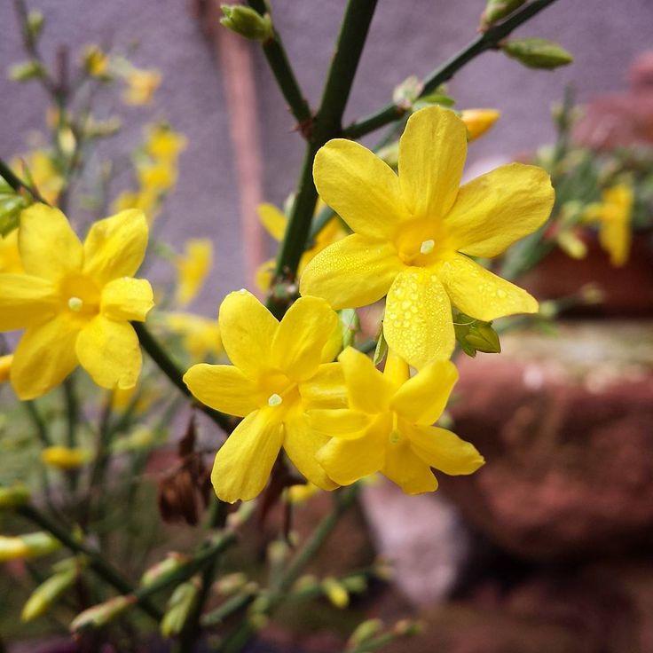 Jasmin d'hiver dans le jardin... #winterjasmin #jasmin #flowers #flowerstagram #nature #naturelover #ourgarden