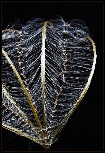 SeedART    Seeds of Pale Willowherb / Rosarotes Weidenröschen (Epilobium roseum) - Large On Black  in our garden - Frankfurt-Nordend