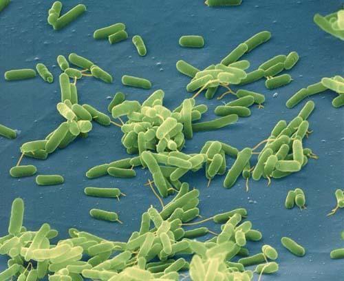 Reino Monera (Bacterias, Cianobactérias) - Escuelapedia - Recursos educativos