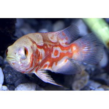 111 Best Images About African Cichlids Fish On Pinterest