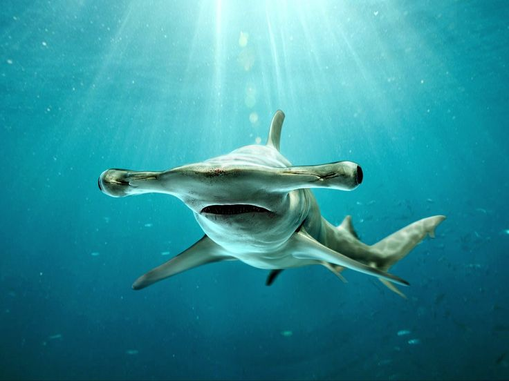 Grand Requin-Marteau // Großer Hammerhai // Grande Tubarão-Martelo // Great Hammerhead (Sphyrna Mokarran) #sphyrnidae #squale #animals #underwater #wildlife #fishes #poissons #animaux #nature #photography