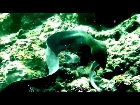Схватка мурены и акулы.