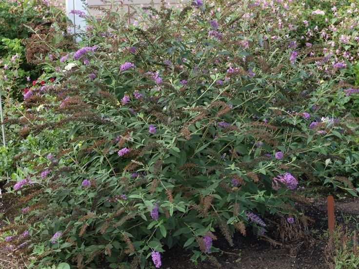 While the care of butterfly bushes is fairly simple, transplanting a butterfly bush requires some preparation. Learn when and how to transplant butterfly bushes in this article so you can ensure its overall success.