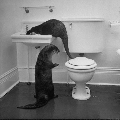 Otters Playing in Bathroom Photographie, 41x41, 67€