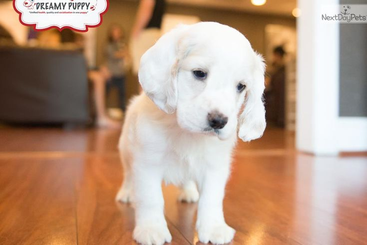 Meet Male a cute Cockapoo puppy for sale for $1,199. CUTEST TOY COCKAPOO PUPPY AVAILABLE NOW!