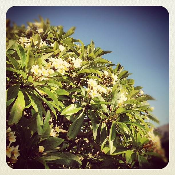 Bondi in Bloom #frangipani #atbondi #bondi #flowers #nature #sunny #sydney