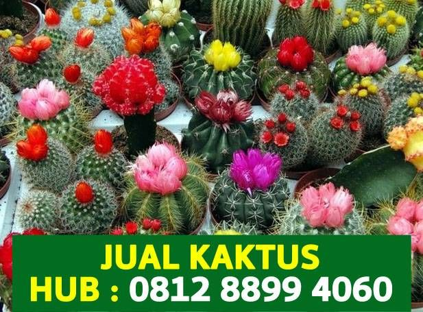 Jual Kaktus Mini Hias Satuan Murah Online Bunga Plants