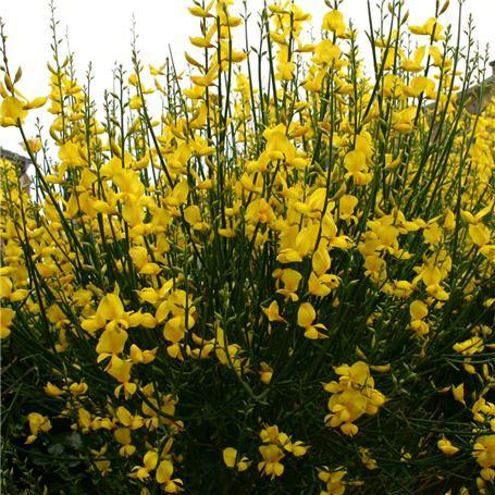 Spartium junceum, spanish broom