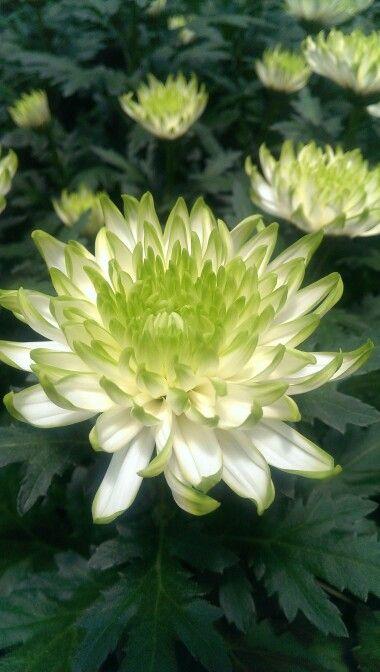 Disbuds, 2tone white/green