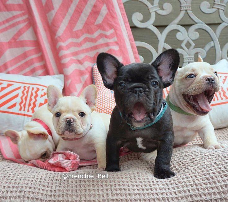 French Bulldog Puppies❤❤