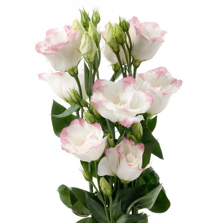 Evanthia Seeds&Plants  Lisianthus Cessna Rose Picotee  White with soft rose blush on the edge.