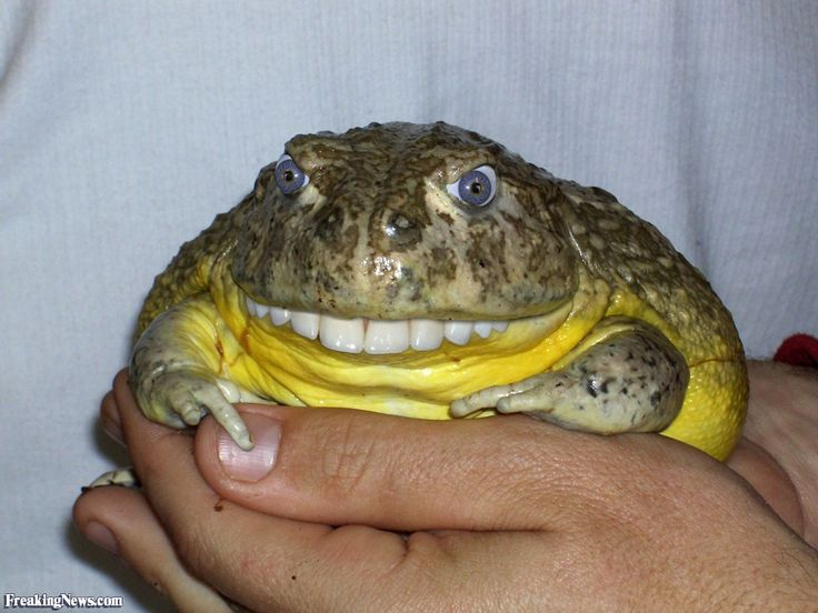 frogs with teeth frog with teeth food pinterest