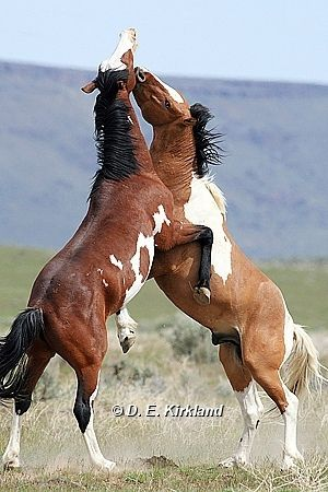 Wild Stallions of Oregon - by Dennis Kirkland