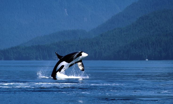 Big oil v orcas: Canadians fight pipeline that threatens killer whales on the brink