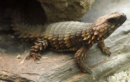 Cordylus cataphractus is a small lizard from South Africa ...