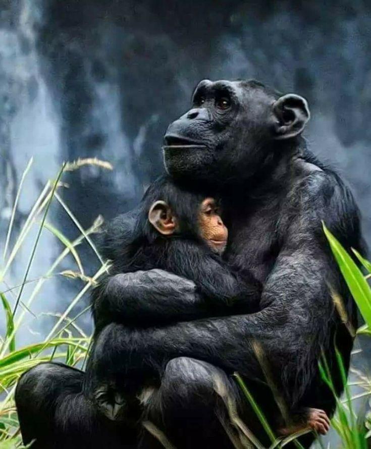 Schimpansen Mama mit ihrem Baby