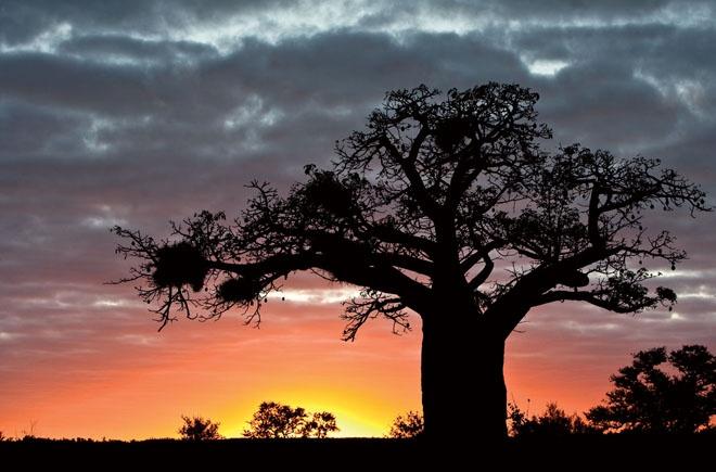 Giant Baobab trees.