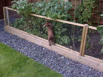 Best Rabbit Proofing The Garden Images On Pinterest Fence