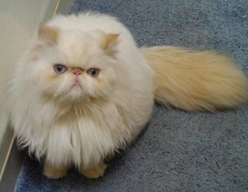 Are persian and himalayan cats the same