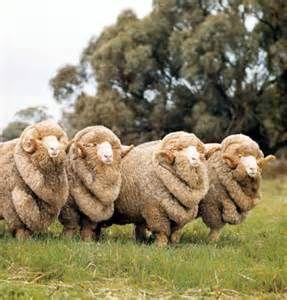Perhaps merino wool? Such a macho quartet of rams. (Merino rams bread first in Australia.)