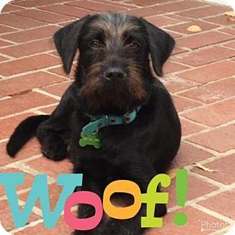 Glastonbury, CT - THE CHI SOCIETY OF CT - Standard Schnauzer Mix. Meet Tucker, a dog for adoption. http://www.adoptapet.com/pet/17292079-glastonbury-connecticut-standard-schnauzer-mix