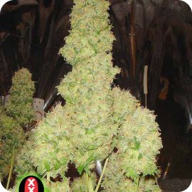 White Russian - strain - Serious Seeds | Cannapedia