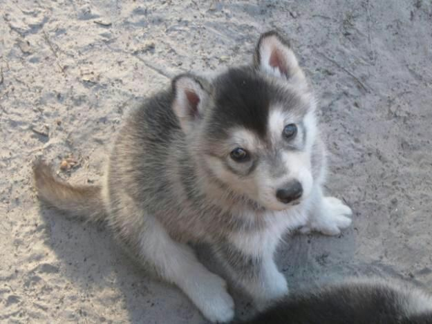 The New Girl Completed Designer Dogs Breeds Wolf Hybrid Puppies Dogs