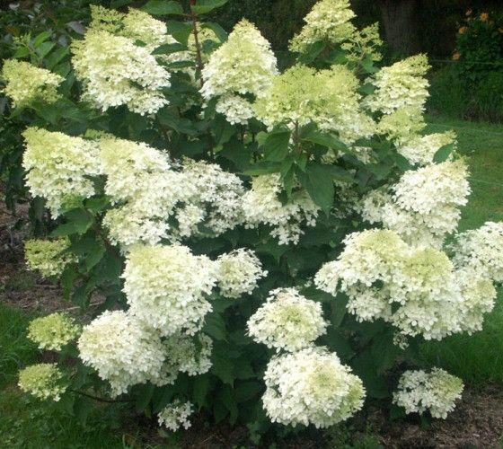 best 25 hydrangea paniculata ideas on pinterest limelight hydrangea hydrangea tree and large. Black Bedroom Furniture Sets. Home Design Ideas