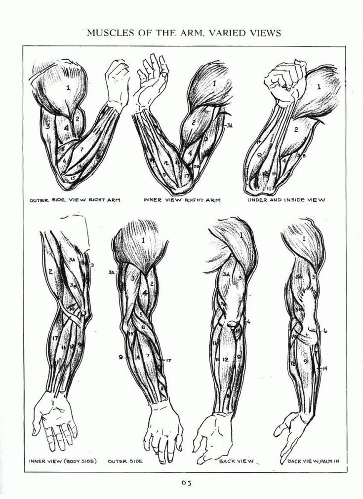 anatomy of arm - Romeo.landinez.co