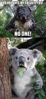Who ate my eucalyptus?