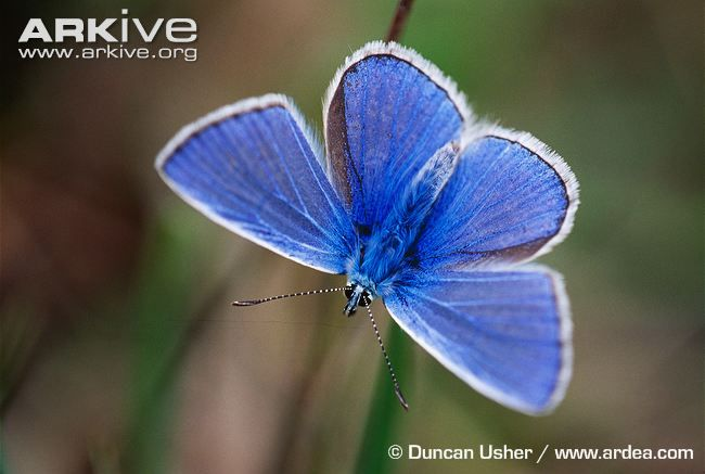 Common blue videos, photos and facts - Polyommatus icarus | Arkive