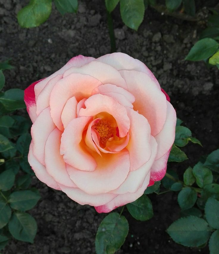 Růže Frosin